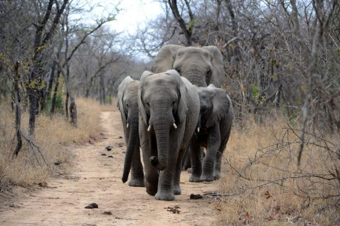 Family Elephants in South Africa - Simon Greenwood